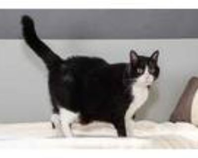 Adopt Katniss a All Black Domestic Shorthair / Domestic Shorthair / Mixed cat in