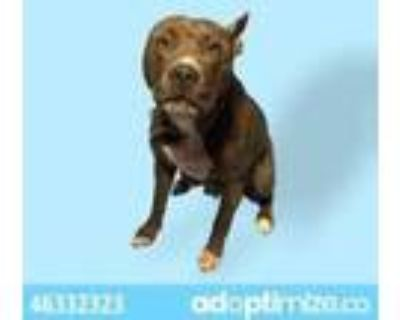 Adopt Misty a Tan/Yellow/Fawn American Pit Bull Terrier / Mixed dog in El Paso