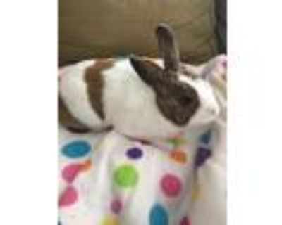 Adopt Jack a Other/Unknown / Mixed rabbit in Temecula, CA (23730893)