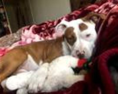 Adopt Ginger a Red/Golden/Orange/Chestnut - with White American Pit Bull Terrier