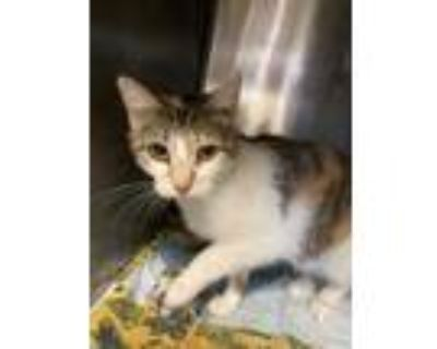 Adopt Carina a Orange or Red Domestic Shorthair / Domestic Shorthair / Mixed cat