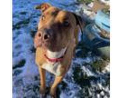 Adopt Carmen a Staffordshire Bull Terrier