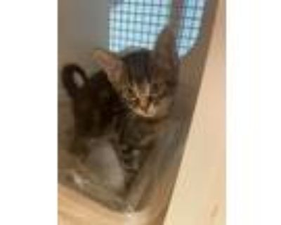 Adopt George a Brown Tabby Domestic Shorthair (short coat) cat in Springfield