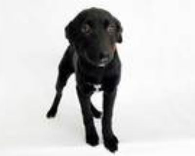 Adopt STACEY a Black - with White Labrador Retriever / Mixed dog in St.