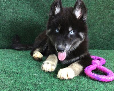 Siberian Husky Puppy for Sale - Joy