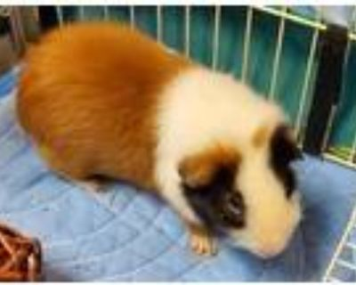 Adopt Oliver a Guinea Pig small animal in Highland Village, TX (31960429)