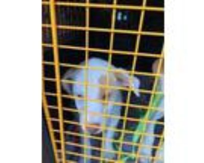 Adopt Nala a White Hound (Unknown Type) / Mixed dog in Ann Arbor, MI (31968901)