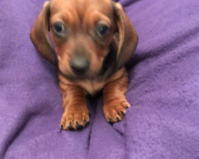 Purebred Miniature Dachshund puppies for sale
