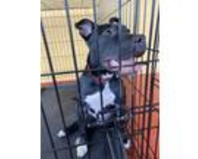 Adopt Moana a Black American Pit Bull Terrier / Mixed dog in Fort Myers