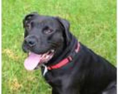 Adopt Gomez a Labrador Retriever, Rottweiler