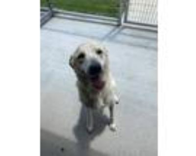 Adopt Sitka a White Shepherd (Unknown Type) / Mixed dog in Fort Worth