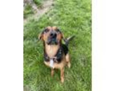 Adopt Priscilla a Black - with Tan, Yellow or Fawn Shepherd (Unknown Type) /