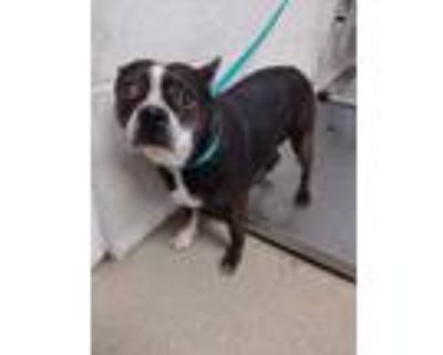 Adopt Flower a Black Boston Terrier / Mixed dog in Fort Worth, TX (31494888)