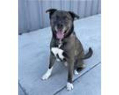 Adopt Pickles a Akita, Staffordshire Bull Terrier