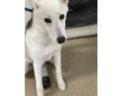 Adopt 48301509 a White Husky / Mixed dog in Fort Worth, TX (32057943)