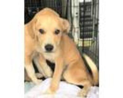 Adopt Huckleberry a Labrador Retriever