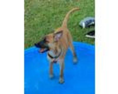 Adopt Sandy a Plott Hound / Mixed dog in Grafton, WI (31366733)