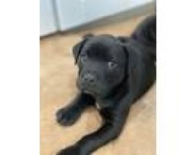 Adopt Frank a Black - with White Labrador Retriever / Pit Bull Terrier / Mixed