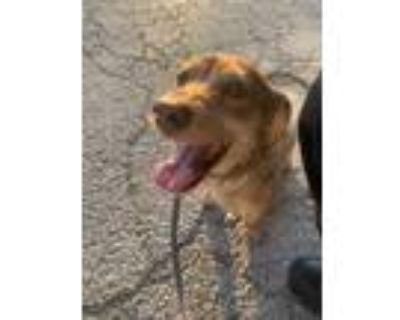 Adopt 48004106 a Brown/Chocolate Dachshund / Mixed dog in Fort Worth