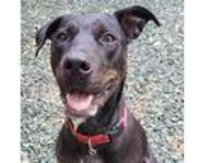 Adopt Charlotte a Brown/Chocolate Mixed Breed (Large) / Mixed dog in Decatur