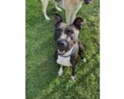 Adopt Bailey a Black - with White American Pit Bull Terrier / American Pit Bull