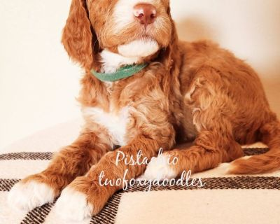 Goldendoodle F1B Puppies
