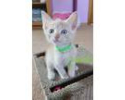 Adopt Pistachio a Orange or Red Tabby Domestic Shorthair cat in Union Grove