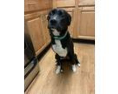 Adopt Atticus a Black - with White Boxer / Border Collie / Mixed dog in Flowery