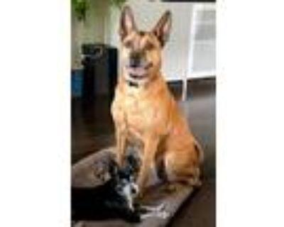 Adopt Sadie a Red/Golden/Orange/Chestnut - with Black Boxer / Shepherd (Unknown
