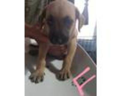 Adopt Akira a Belgian Shepherd / Malinois, German Shepherd Dog