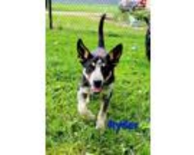 Adopt Ryder a Australian Cattle Dog / Blue Heeler