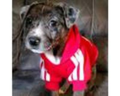 Adopt Rue Yoda a Australian Cattle Dog / Blue Heeler, Pit Bull Terrier