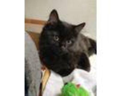 Adopt DONETTES a All Black Domestic Mediumhair / Mixed (medium coat) cat in