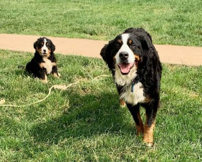 Ready to go home **Bernese Mountain Dog Puppies❤️❤️