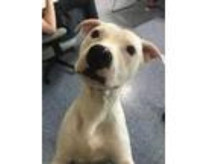 Adopt Kylo Arundel a White American Pit Bull Terrier / Mixed dog in Queenstown