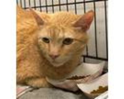 Adopt JB a Orange or Red Domestic Shorthair / Mixed (short coat) cat in