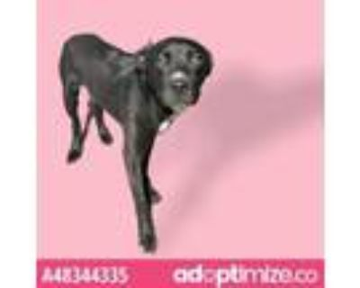 Adopt 48344335 a Pit Bull Terrier, Mixed Breed