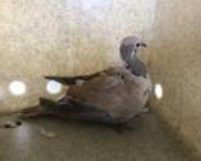 Adopt a Tan Dove / Mixed bird in Castaic, CA (31512815)