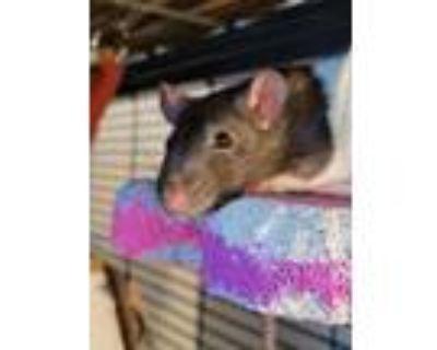 Adopt 20 male rats a Rat