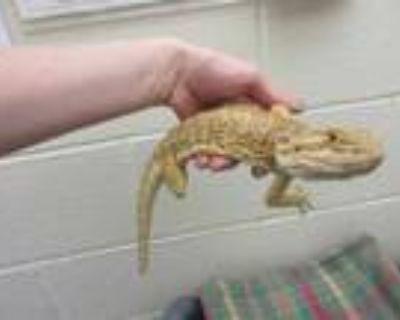Adopt ZUKI a Lizard