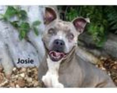 Adopt JOSIE a Gray/Silver/Salt & Pepper - with White American Pit Bull Terrier /