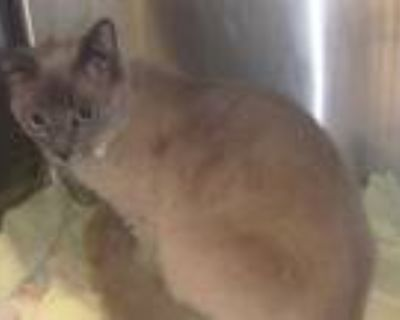 Adopt OREGON a Brown or Chocolate Siamese / Mixed (short coat) cat in Van Nuys