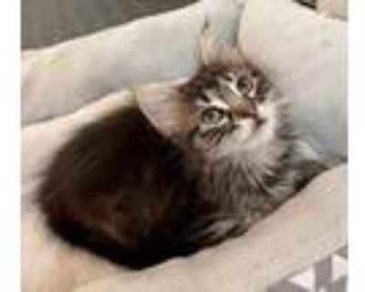 Adopt Ravioli a Brown or Chocolate Ragdoll / Domestic Shorthair / Mixed cat in