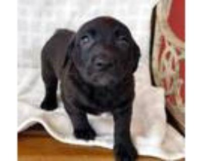 Adopt Camelia a Black Labrador Retriever / Mixed dog in Burleson, TX (32073449)