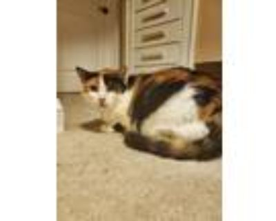Adopt Pecan (Bonded to Whispurr) a Domestic Short Hair