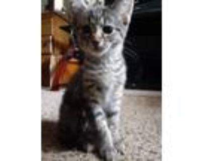 Adopt Lilly a Gray, Blue or Silver Tabby Domestic Shorthair (short coat) cat in