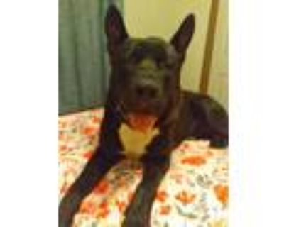 Adopt Max a Black - with White American Pit Bull Terrier / German Shepherd Dog /