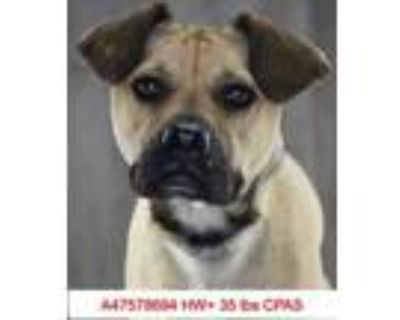 Adopt Pugsley a Tan/Yellow/Fawn Boxer / Mixed dog in Shreveport, LA (31115830)
