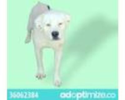 Adopt A36062384 a White Retriever (Unknown Type) / Mixed dog in El Paso