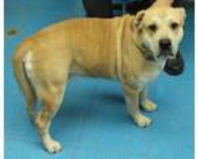 Adopt Swain a White - with Tan, Yellow or Fawn Shar Pei / Labrador Retriever /